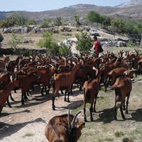klenak-2-koze