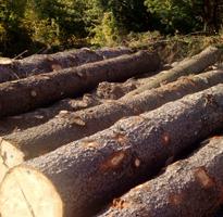 sjeca drvo kolasin
